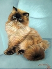Perserkater - Persian Cat